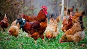 Загадки про курицу ипетуха