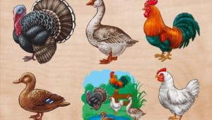 Загадки про домашних птиц