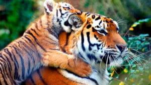 Загадки про тигра